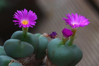 10 SEEDS Succulent Caudex Samen Semi Korn 種子 씨앗 Avonia Papyracea Namaensis
