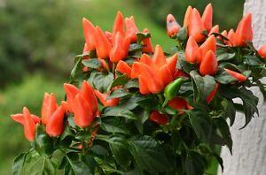 Mini-Paprika-Topfpaprika-Saatgut-aus-Eigenanbau-10-Stueck-Samen