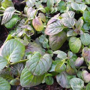 Weinminze-Mentha-piperita-species-Nepetoides-Kuechenkraut