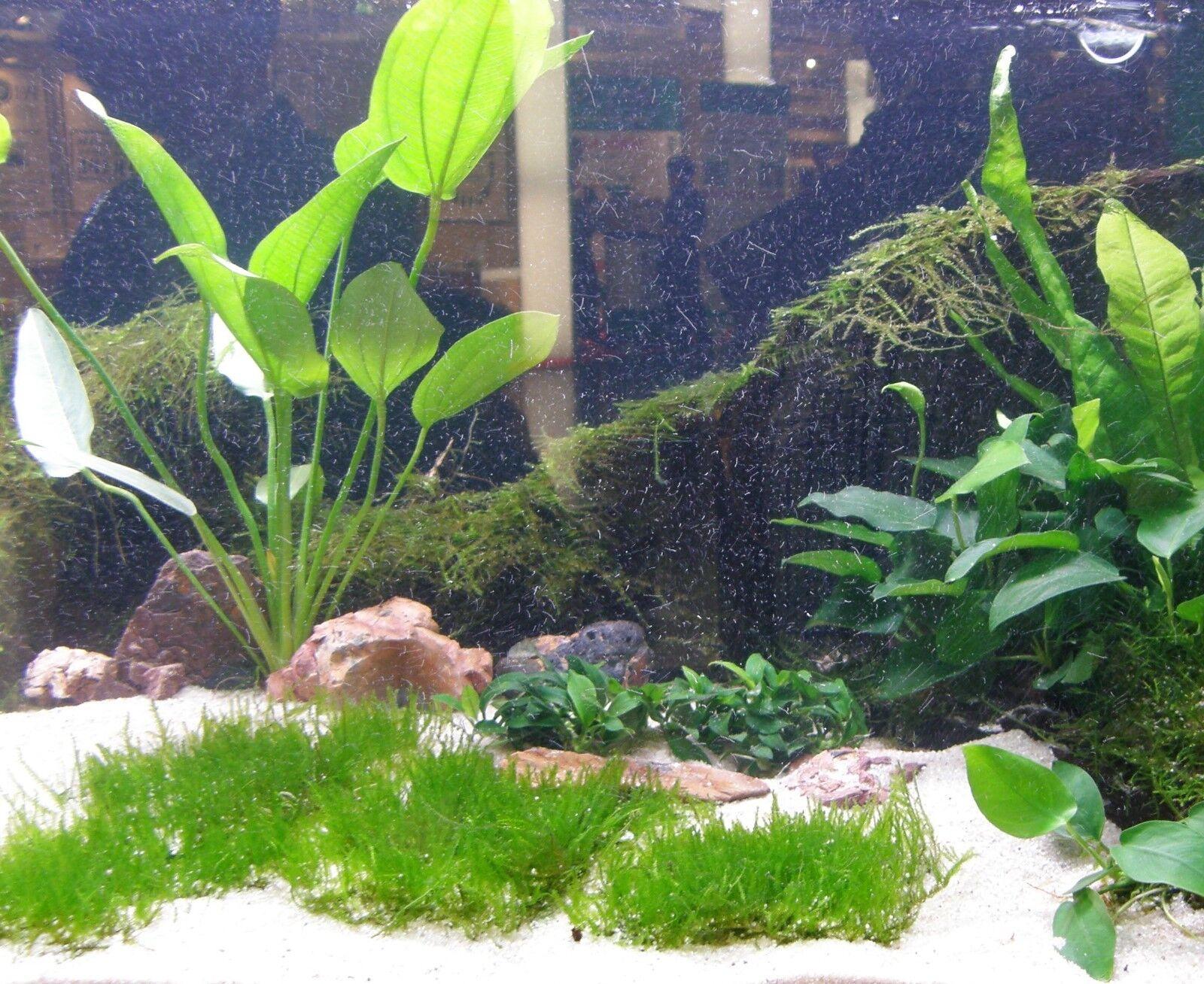 20 MATTEN NEUSEELANDGRAS (7x5 cm), Aquariumpflanzen, Wasserpflanzen, Aquarium