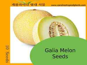 Cucumis melo 80 Seeds Traditional Variety  Moylkeiko TASTY Melon Fruit