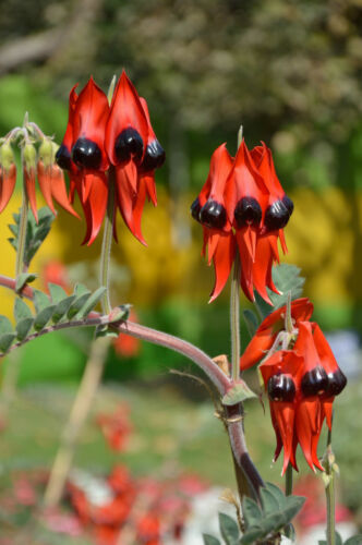 Ruhmesblume 20 Samen Swainsona formosa Wüstenerbse