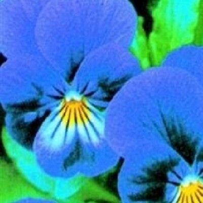50 Seeds Viola BOGO 50/% off SALE King Henry