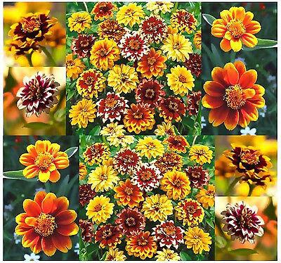 Zinnia Seeds - Mexican Zinnia Persian Carpet Mix -  Bicolored Dahlia-like Blooms