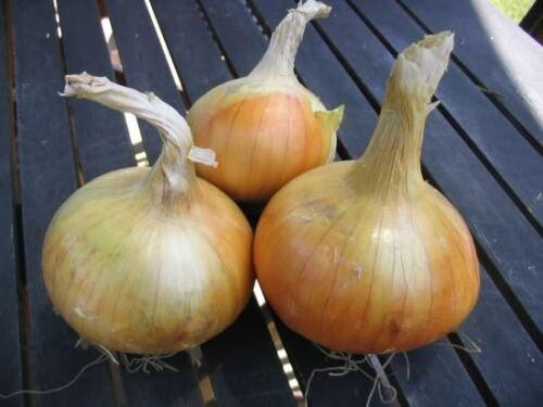 Légumes Oignon senshyu jaune 1.5 g ~ 430 FINEST SEEDS ** FREE UK P /& P **