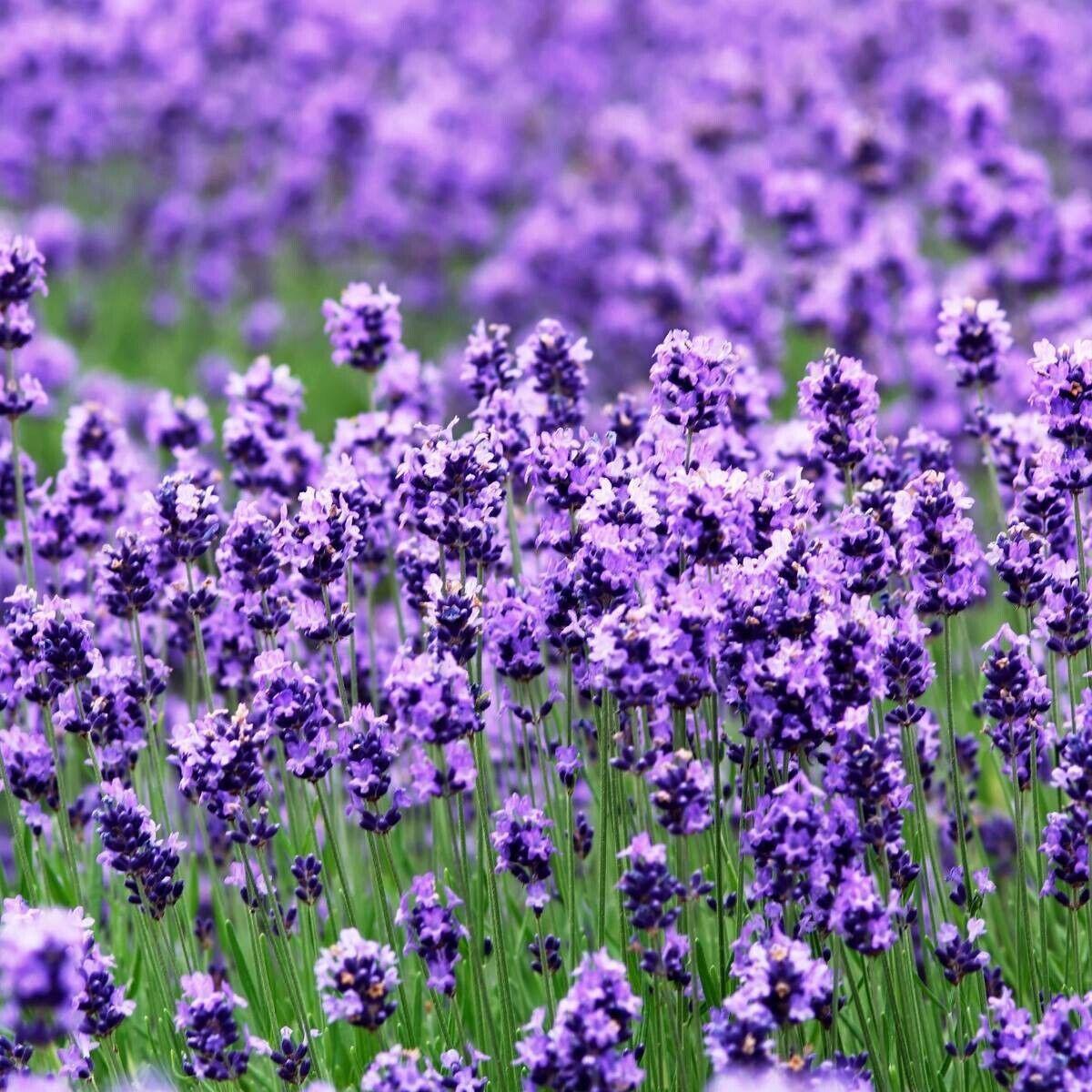 LAVENDER 'True English' - 100+ seeds - Aromatic Medicinal. Instructions Inc :)