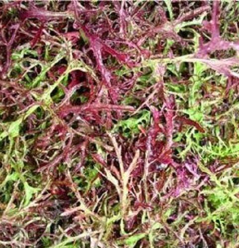 500 Mustard Mizuna Seeds Red Streaks Garden Seeds