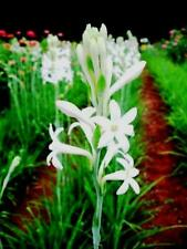 Double Polianthes Tuberosa /'The Pearl/' Bulbs Rajanigandha Bulbs