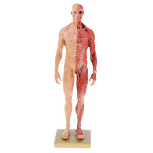 Details about 11'' Male Anatomy Figure Collection Artists' Anatomical  Reference Skin Color