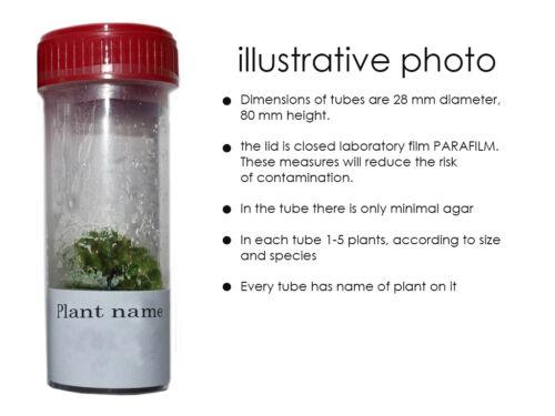 Carnivorous plant Sarracenia rubra gulfensis In vitro