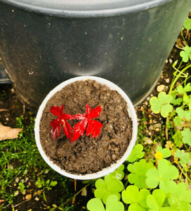 One Japanese Red Maple Seedling Plant