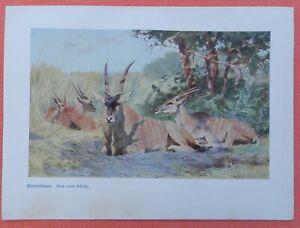 CréAtif Elenantilopen Taurotragus Wilhelm Kuhnert Afrique Impression Couleur 1920 N. Peinture-afficher Le Titre D'origine