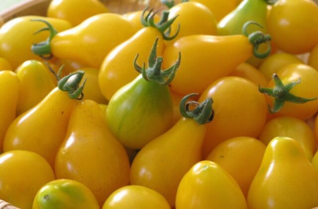 """Wyche's Yellow Heirloom Tomato Seeds /""""Free Shipping/"""" 20 Dr"""