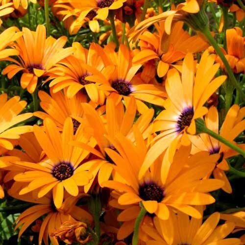Graines Dimorphotheca Sinuata African Daisy Seeds paysans Jardin Kapringelblume 150
