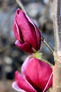Magnolia Genie®, purpur Magnolie, 60-70cm, Neuheit, Magnolienbaum