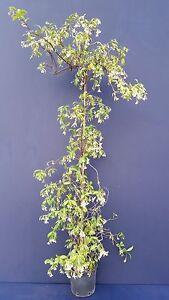 Image Is Loading  Trachelospermum Jasminoides V18 False Jasmine Plant Confederate Jasmine