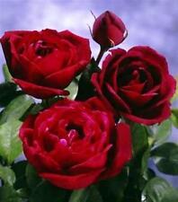 OKLAHOMA Rose Bush Flowers Live Plant Roses BLACK DEEP BLOOD RED FRAGRANT