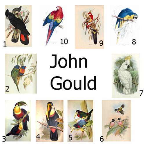 John Gould Native Bird print Pecan parrot painting Vintage Old Australia