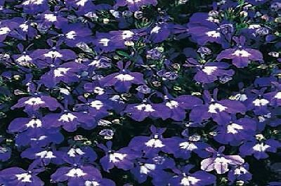 Flower  - Lobelia Bedding - Mrs Clibran - 5000 Seeds