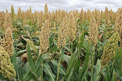 WHITE POPPING SORGHUM SEED,Grain, floral arrangements (dried or fresh flower)