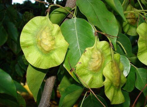 La Birmanie Padauk 20 Graines Arbre Pterocarpus Macrocarpus Thai bois dur