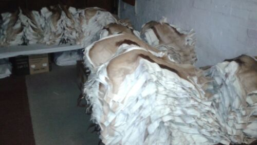 skins in Africa  CHRISTMAS SALE Springbok Skin XL A-grade Best quality hides