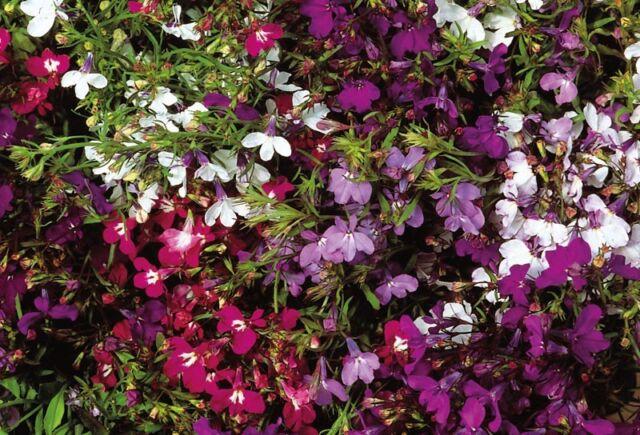 FLOWER LOBELIA STRING OF PEARLS 0.4 GRAM ~ APPROX 12,000 FLOWER SEEDS