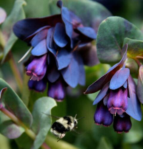 10 seeds Details about  /Cerinthe major blue shrimp pride of gibraltar flower