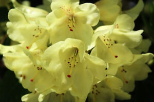 Seeds Rhododendron Dalhousiae Profusion Of Yellow Flowers Zone 7