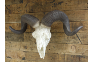 Image Is Loading Faux Ram Skull Made In Resin Finished By