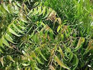Details about FRESH Neem Leaf 4 oz  Azadirachta Indica Nimtree FRESH PICKED  LEAVES Herbs,HAIR