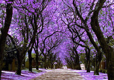 JACARANDA MIMOSIFOLIA - BLUE JACARANDA TREE, 50 HIGH QUALITY SEEDS