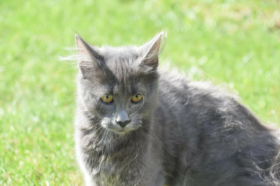 Hankilling, Maine coon, 4 mdr.