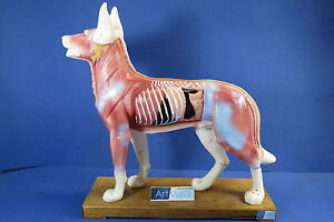 Model-Anatomy-Professional-Medical-Acupuncture-Dog-IT-107-ARTMED