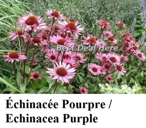Perennial RUDBECKIA E-Z Long Last red CONEFLOWER Echinacea PURPLE Purpurea 100