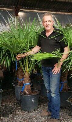 Windmill Palm Trachycarpus fortunei Chusan Palm First Year Seedling in 9CM Pot