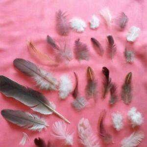 Naturel-Plumes-x31-oiseaux-Free-Fallen-Coquelet-pigeon-colore-plumes-UK