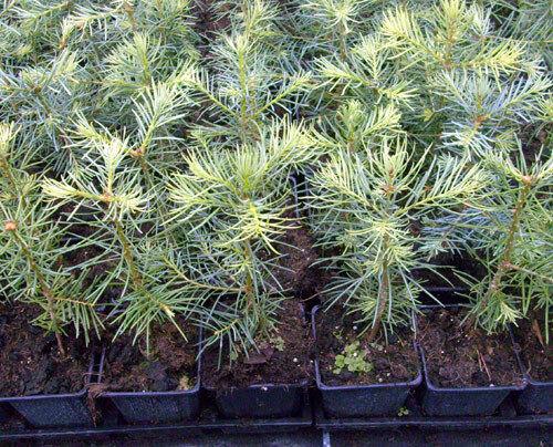 Abies concolor im Topf 1 x Coloradotanne Container 25-30 cm