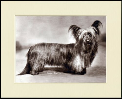 SKYE TERRIER STANDING DOG GREAT PHOTO PRINT MOUNTED READY TO FRAME