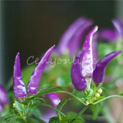 100pcs Hot Chili Pepper Cayenne Purple Beautiful Vegetable Seeds Food