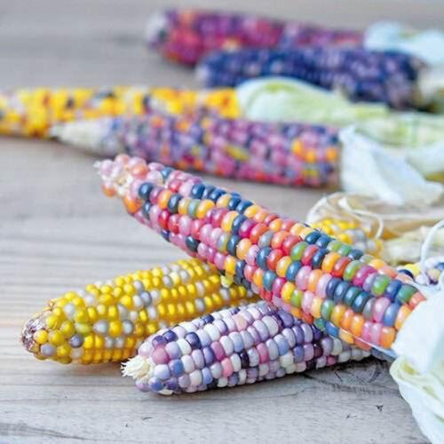 20X rainbow corn seeds organic vegetables sweet food edible seeds grain plant G$