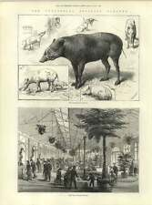 1883 New Reptile House At The Zoo Babiruossa Family Saint Germain Damage
