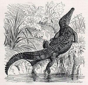 C4507 Crocodilus Americanus - Xilografia D'epoca - 1927 Vintage Engraving