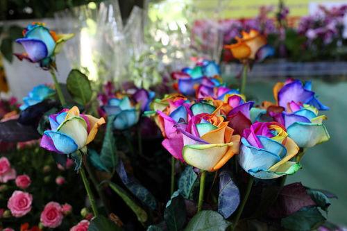 35  Rose Rosen Samen RAINBOW Seeds Geschenk Tribute