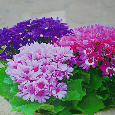 woo-wall 30PCS Florists Cineraria Flower Seeds Plant Garden Home