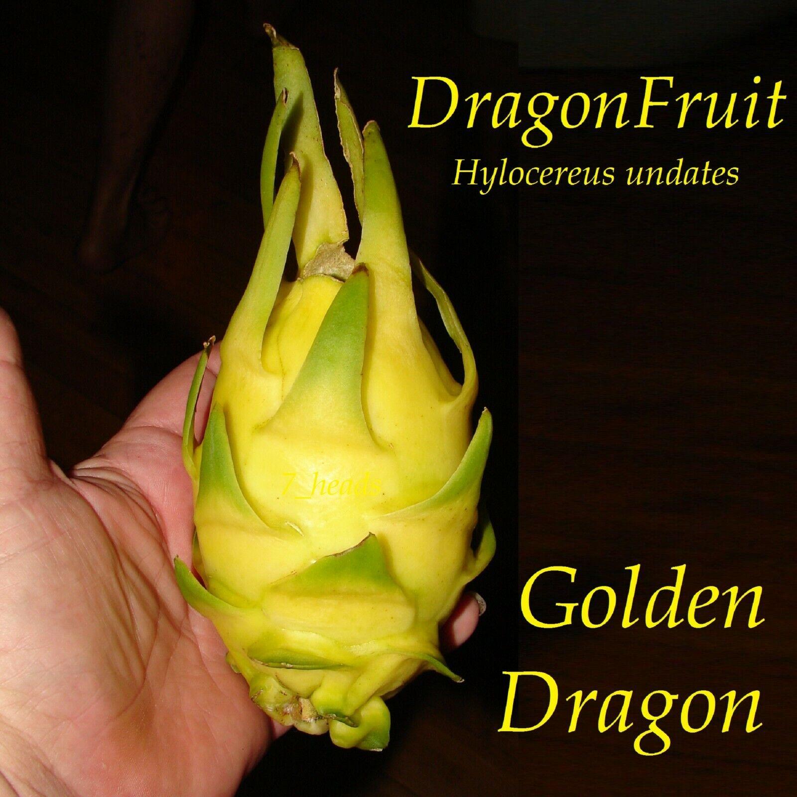 ~GOLDEN DRAGON~ DragonFruit Pitaya White Pulp Yellow Fruits Undatus Seeds EXOTIC