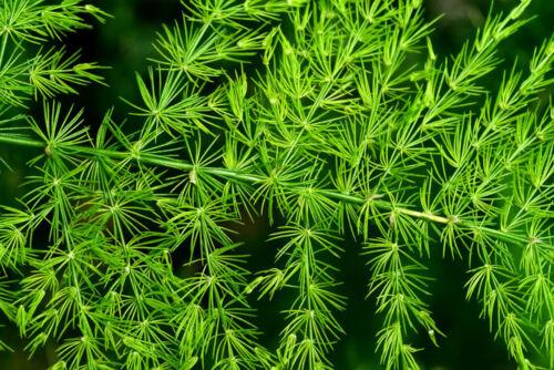 Setaceus pyramidalis plumosus Asparagus-Feather Fern Seeds Soft Fern Fronds