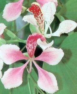 wundersch ner orchideen baum mit wei rosa bl ten ebay. Black Bedroom Furniture Sets. Home Design Ideas