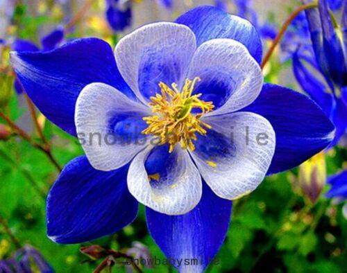 300 Columbine seeds Aquilegia caerulea vulgaris Couleurs Mélangées Hardy fleurs fraîches