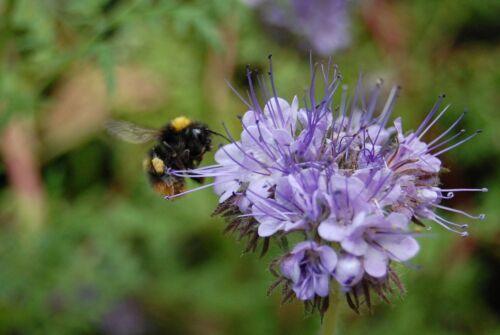 PHACELIA Bienenweide 10 kg Bienenwiese zertifiziertes Saatgut Bienenfreund ZSaat